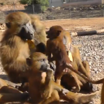 Baboons communicating on beach